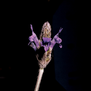 Lavandula maroccana
